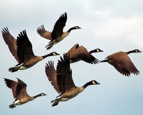 Ptaki - ptasia grypa