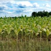 komunikat KOWR dla producentów tytoniu